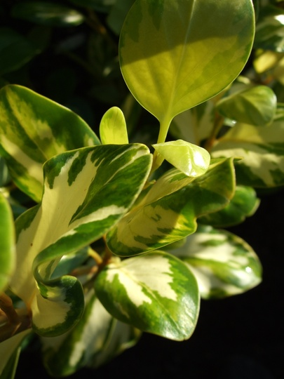 Leaf markings - Griselinia 'Bantry Bay' (Griselinia littoralis)