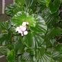 Enjoying the rain (begoniaceae)