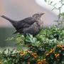 Hoppity enjoying berries