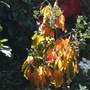 Sun_through_hamamelis_leaves