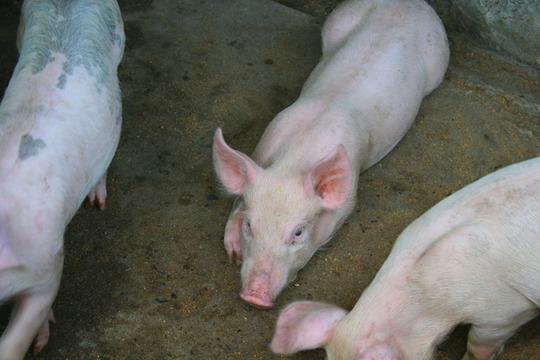 My Three Little Piggy