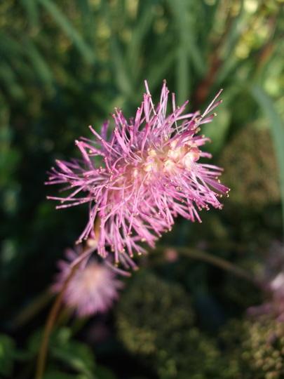 Sanguisorba obtusa (Sanguisorba obtusa)