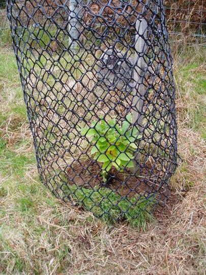 Chestnut (Deer fenced) (Castanea)