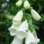 White Foxglove - June 2007 (Digitalis)