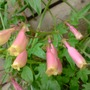 eccremocarpus (Eccremocarpus scaber (Chilean glory flower))