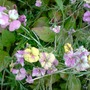 erysium (Erysimum bicolor (Bowles' perennial wallflower))