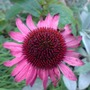 echinacea (Echinacea atrorubens (Topeka Purple Coneflower))