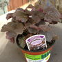 Heuchera       '  Palace Purple '