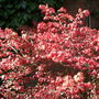 Spindle_bush_turning_red