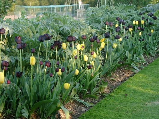 tulips in kitchen garden