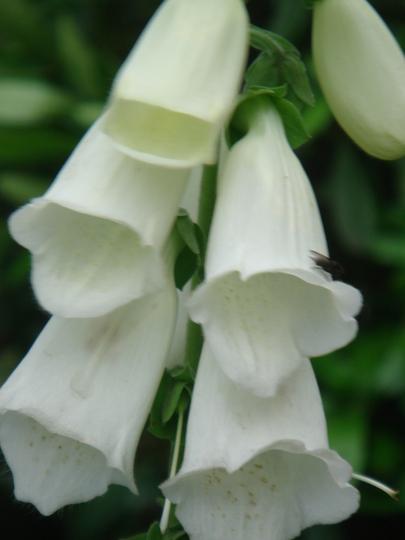 White Foxglove close-up (Digitalis)