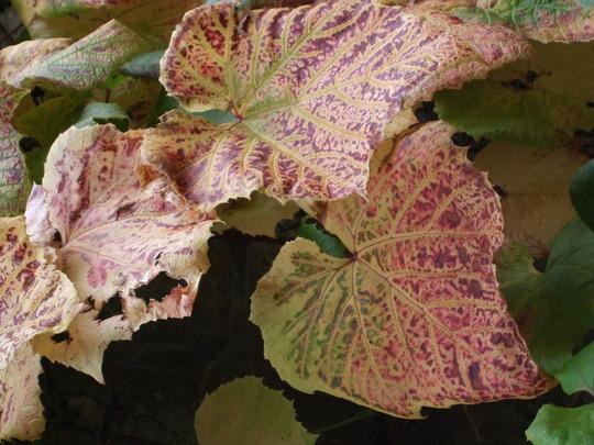 Vitis coignetiae (Vitis coignetiae (Crimson glory vine))