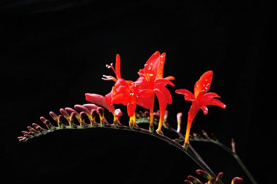 crocosma (Crocosmia x crocosmiiflora (Montbretia))