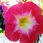 Pink, white and yellow petunia