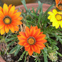 Gazanias still flowering.
