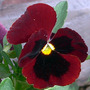 Winter Pansy