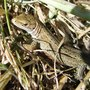 Common_lizard_riverside_4