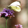 Large white