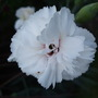 New_dianthus_still_flowering