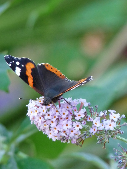 Red Admiral still busy! (Buddleia Davidi)