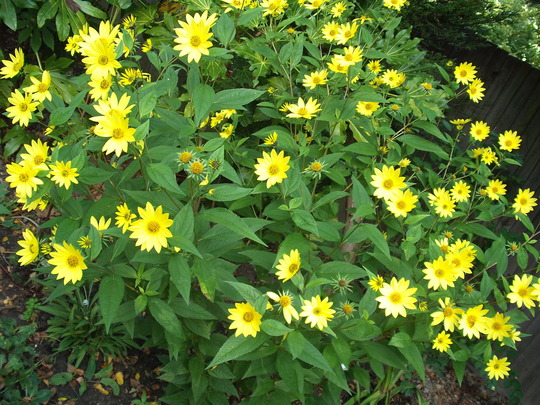 Helianthus lemon queen (Helianthus multiflorus)