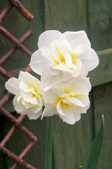 Cream Cheerfulness (Narcissus 'Cheerfulness')