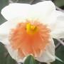 Park Perfumn (narcissus 'park perfumn')