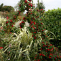 weeping cotoneaster (cotoneaster weeping)
