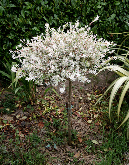 varigated salix (willow)