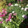 Argyranthemums (Argyranthemum frutescens)