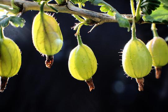 gooseberrys (Ribes uva-crispa (Gooseberry))