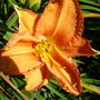 Hemerocallis 'Iron Gate Sunset' (Hemerocallis x 'Irongate sunset')