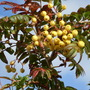 Sorbus 'Joseph Rock' (Sorbus aucuparia (Mountain ash))