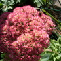 Sedum spectabile 'Autumn Joy' (Sedum spectabile (Ice plant))