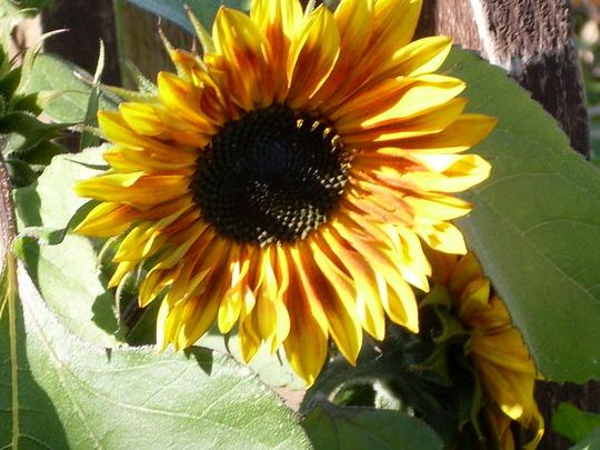 Sunny sunflower (Helianthus annuus (Sunflower))