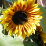 Sunny sunflower (Helianthus annuus (Sunflower))