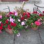 my geraniums