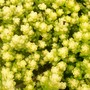 Sedum 'Yellow Queen' (sedum)