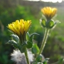 Wildflowers_at_Bedfont_Lakes_3.jpg (Picris echioides)