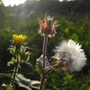 Wildflowers_at_Bedfont_Lakes_5.jpg (Picris echioides)