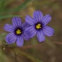 Blue eyed grass (Sisyrinchium atlanticum)