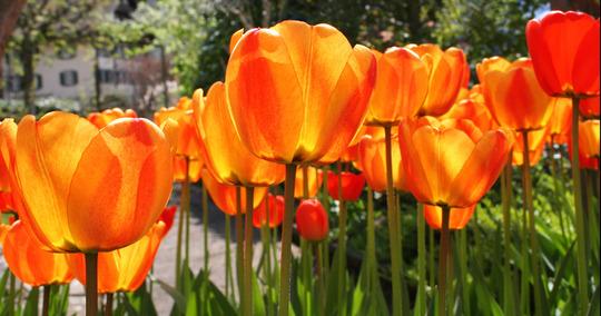 tulips (tulip)