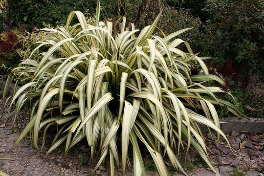 phormium (Phormium tenax (New Zealand flax))
