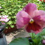 Pansy Rose Surprise (Pansy F1 Rose surprise)