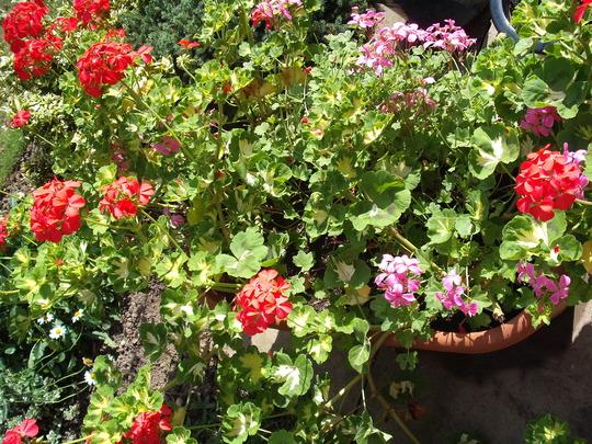 mixed geraniums (Pelargoniums)