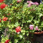 mixed geraniums (Pelargoniums)