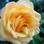 Gold Medal rose (Rosa 'Gold Medal')