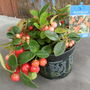 Gaultheria  (Gaultheria procumbens (Box Berry))