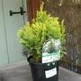 Chamaecyparis_lawsoniana_minima_aurea