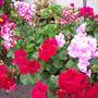 my geraniums again